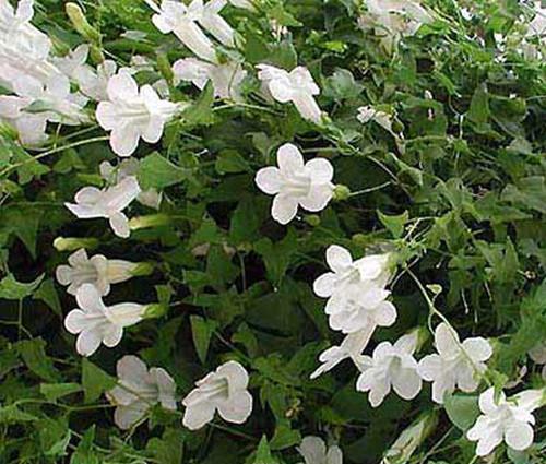Asarina Climbing Snapdragon White Seeds - Asarina Scandens