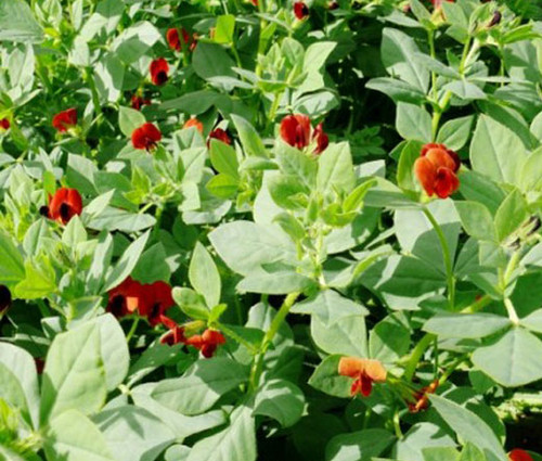 Asparagus Pea Non GMO Seeds - Lotus Tetragonolobus
