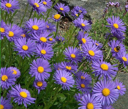 Aster Alpine Blue Seeds - Aster Alpinus