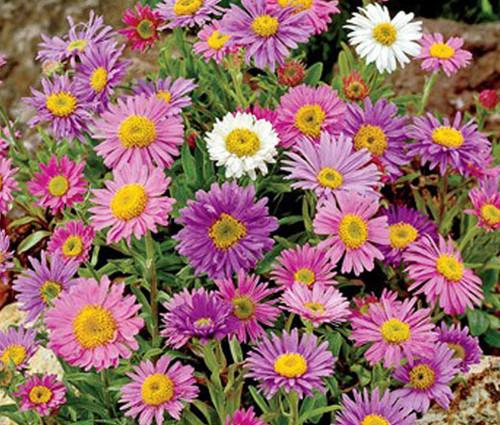 Aster Alpine Mix Seeds - Aster Alpinus
