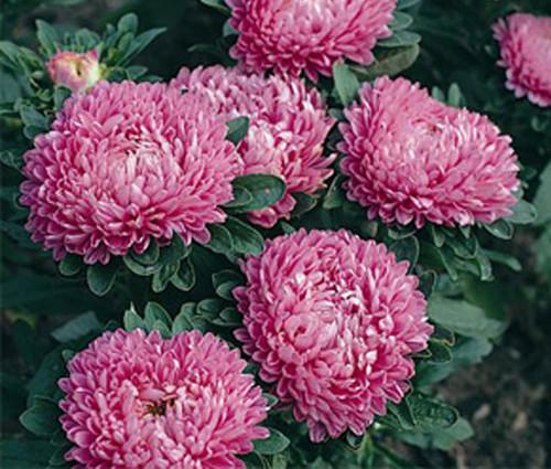 Aster Dwarf Milady Rose Seeds - Callistephus Chinensis