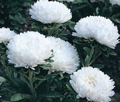 Aster Dwarf Milady White Seeds - Callistephus Chinensis