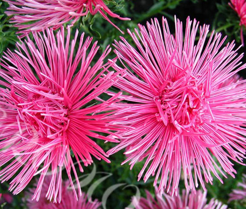Aster Needle Unicum Rose Seeds - Callistephus Chinensis