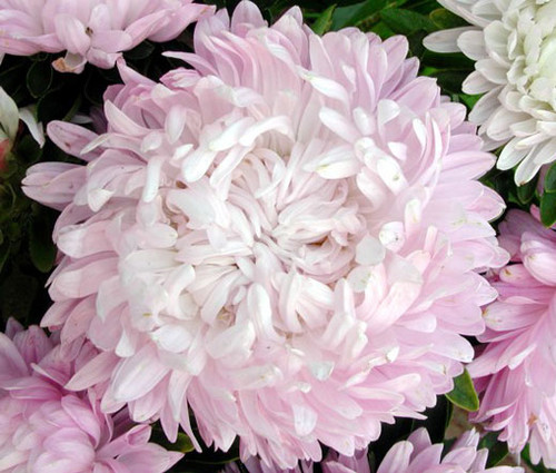 Aster Paeony Duchess Coral Seeds - Callistephus Chinensis