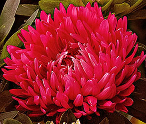 Aster Paeony Duchess Scarlet Seeds - Callistephus Chinensis