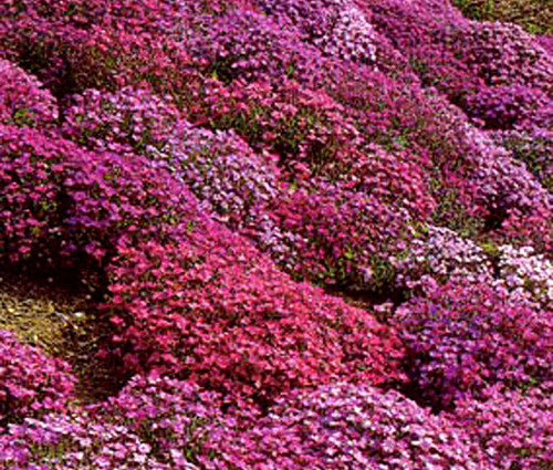 Aubrieta Rock Cress Cascade Mix Seeds - Aubrieta Hybrida Superbissima