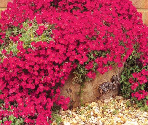 Aubrieta Rock Cress Cascade Red Seeds - Aubrieta Hybrida Superbissima