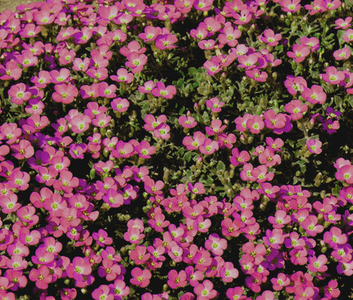 Aubrieta Rock Cress Whitewell Gem Seeds - Aubrieta Hybrida