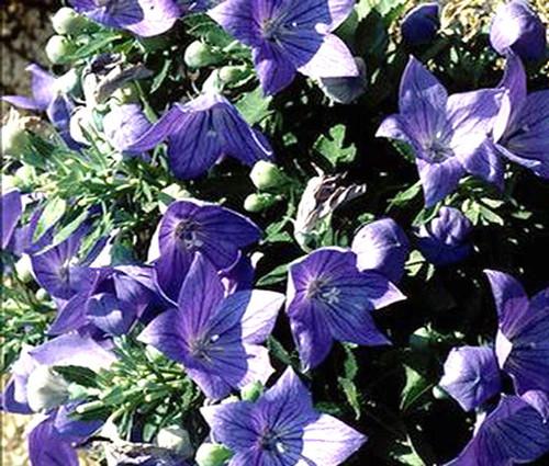 Balloon Flower Blue Seeds - Platycodon Grandiflorus