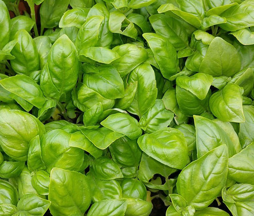 Basil Italian Large Leaf Non GMO Seeds - Ocimum Basilicum