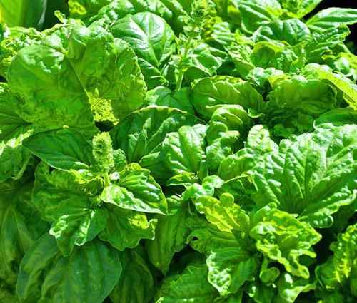 Basil Lettuce Leaf Non GMO Seeds - Ocimum Basilicum