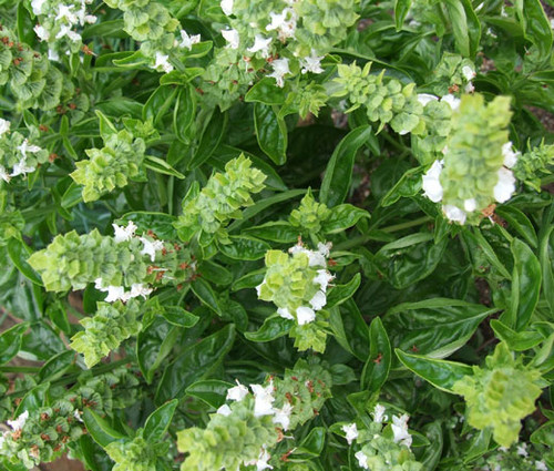 Basil Sweet Genovese Organic Seeds - Ocimum Basilicum