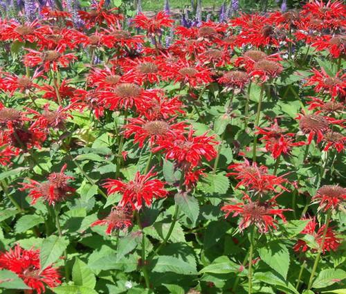 Bee Balm  Scarlet Red Shades Non GMO Seeds - Monarda Didyma