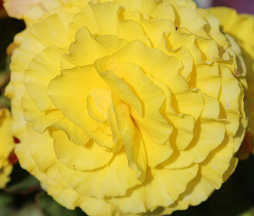 Begonia Tuberous Double Yellow Seeds - Begonia Tuberosa