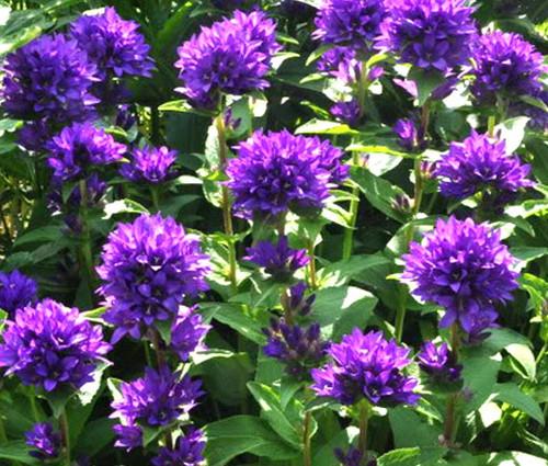 Bellflower Superba Seeds - Campanula Glomerata