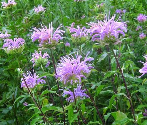 Bergamot Wild Bee Balm Non GMO Seeds - Monarda Fistulosa 2