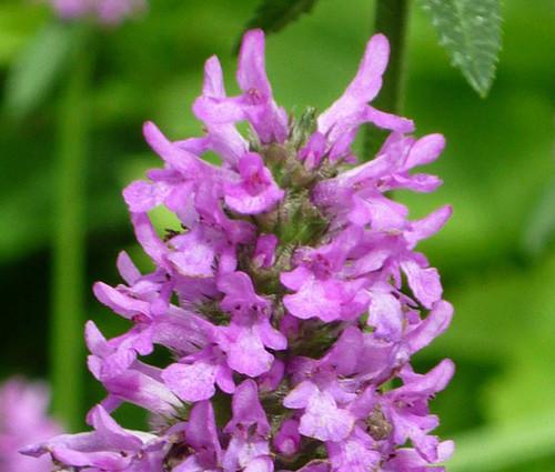 Betony Non GMO Seeds - Betonica Officinalis