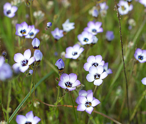 Bird's Eye Seeds - Gilia Tricolor