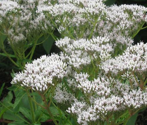 Boneset Common Non GMO Seeds - Eupatorium Perfoliatum