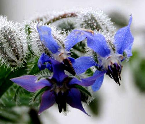 Borage Organic Seeds - Borago Officinalis