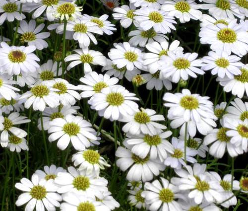 Brachycome White Seeds - Brachycome Iberidifolia