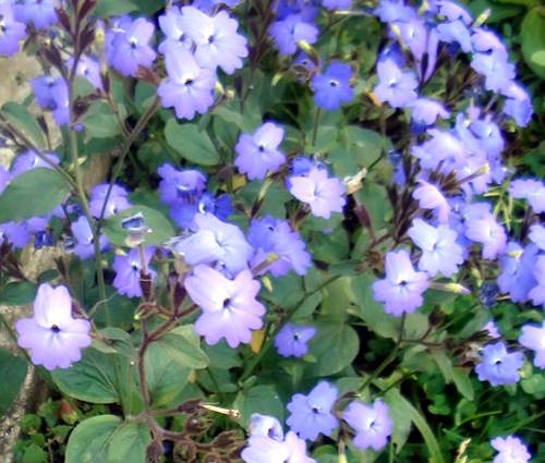Browallia Seeds - Browallia Americana