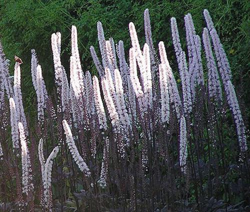Bugbane Non GMO Seeds - Cimicifuga Ramosa Atropurpurea
