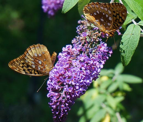 Butterfly Bush Violet Seeds - Buddleia Davidii