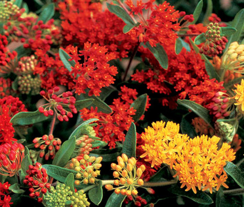 Butterfly Weed Gay Butterflies Seeds - Asclepias Tuberosa