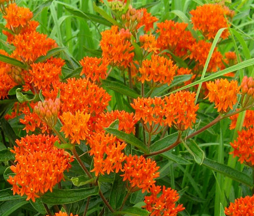 Butterfly Weed Orange Seeds - Asclepias Tuberosa 2