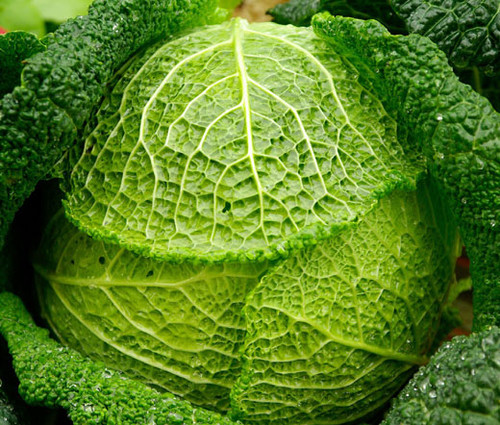Cabbage  Savoy Perfection Non GMO Seeds - Brassica Oleracea
