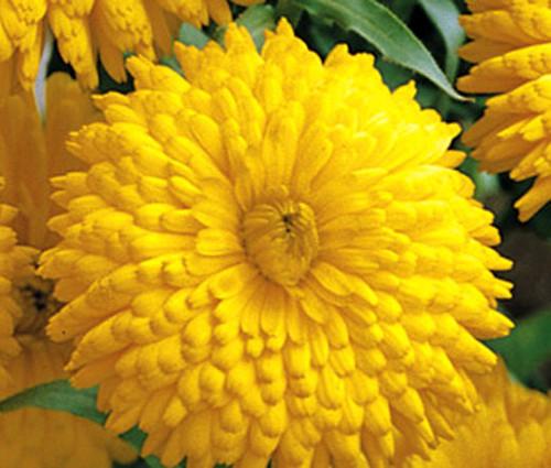 Calendula Golden Emperor Non GMO Seeds - Calendula Officinalis