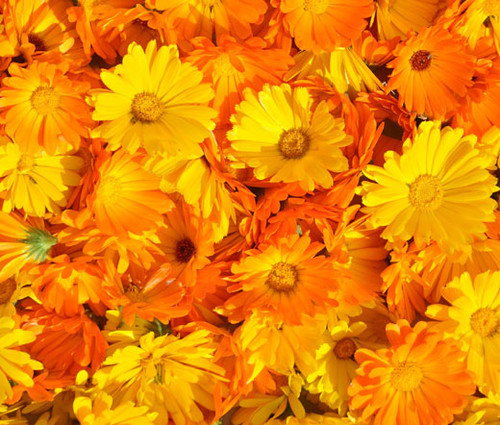 Calendula Pacific Beauty Non GMO Seeds - Calendula Officinalis