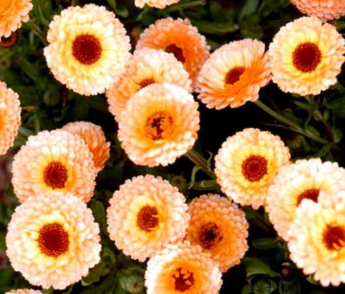 Calendula Pink Surprise Non GMO Seeds - Calendula Officinalis
