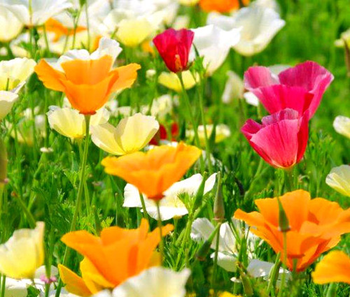 California Poppy Mixed Seeds - Eschscholzia Californica
