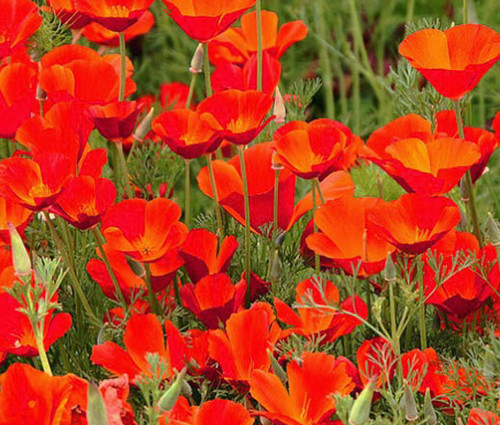California Poppy Red Chief Seeds - Eschscholzia Californica