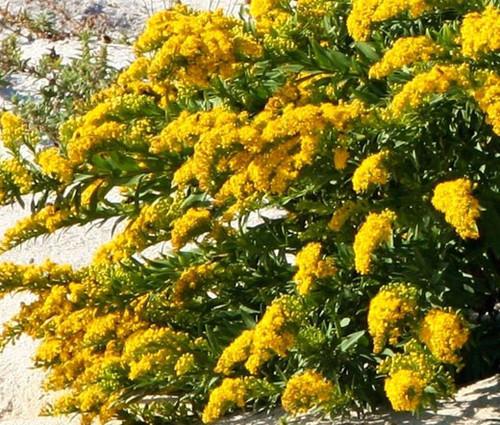 Canada Goldenrod Non GMO Seeds - Solidago Canadensis