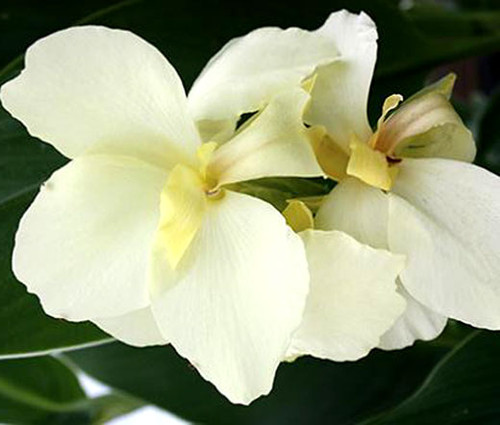 Canna White Seeds - Canna x Generalis