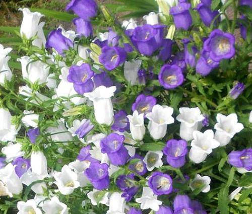 Canterbury Bells Cup and Saucer Mix Seeds - Campanula Medium