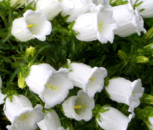 Canterbury Bells White Seeds - Campanula Medium