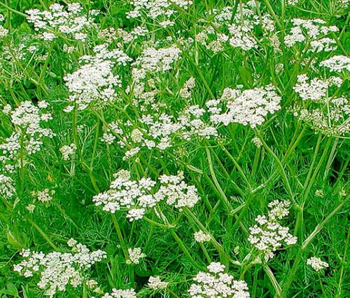 Caraway Non GMO Seeds - Carum Carvi