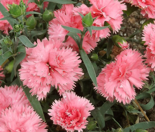 Carnation Chabaud La France Seeds - Dianthus Caryophyllus