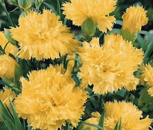 Carnation Grenadin Yellow Seeds - Dianthus Caryophyllus