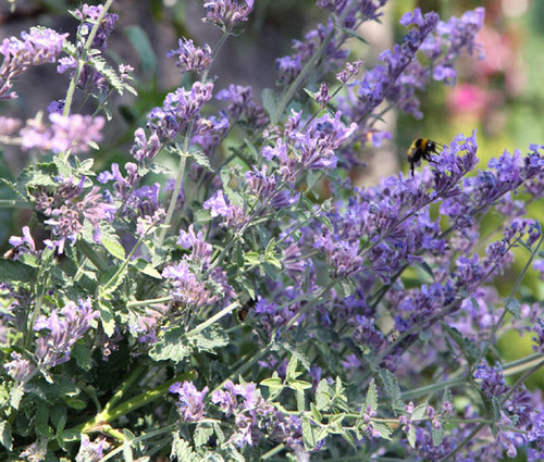 Catnip Lemon Non GMO Seeds - Nepeta Cataria Citriodora