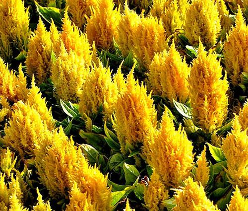 Celosia Nana Glitters Yellow Seeds - Celosia Plumosa