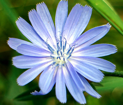 Chicory Non GMO Seeds - Cichorium Intybus