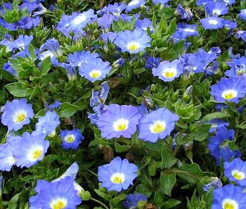Chilean Bellflower Blue Seeds - Nolana Paradoxa