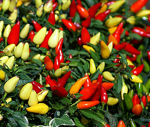 Chili Pepper Ornamental Prairie Fire Non GMO Seeds - Capsicum Annuum