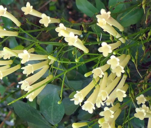 Cigar Plant White Seeds - Cuphea Ignea Coan