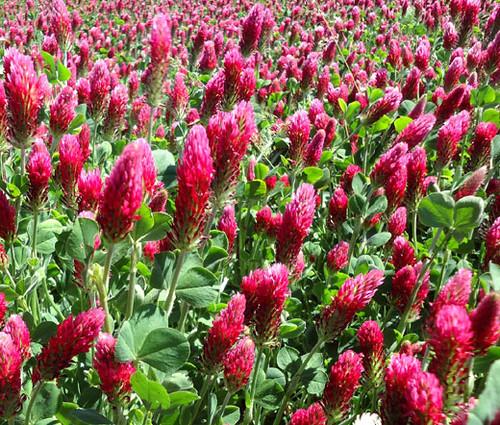 Clover Crimson Seeds - Trifolium Incarnatum